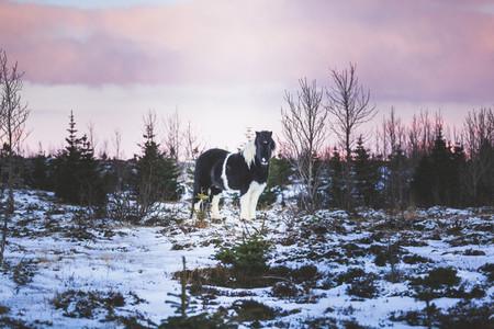 Hestur Icelandic horse