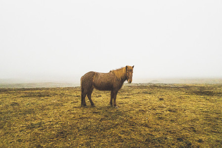 Icelandice Horse