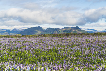 Blooming lupine flowers