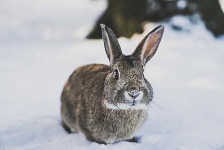 Wild Rabbit in Reykjavik  Icelan
