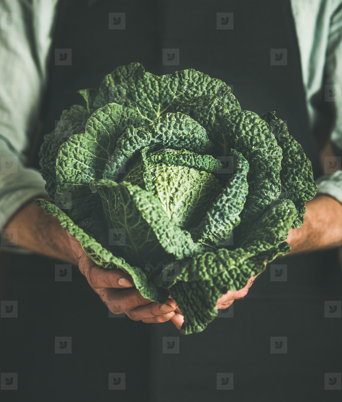 Man wearing black apron holding fresh green cabbagein in hands