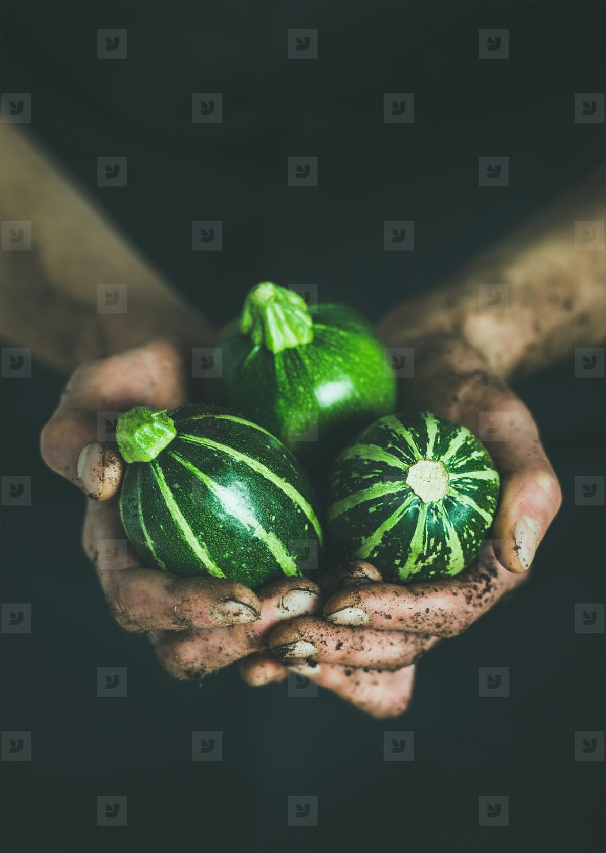 Farmer holding fresh seasonal green round zucchinis in hands