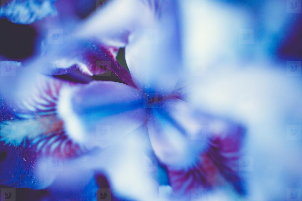 beautiful background Iris