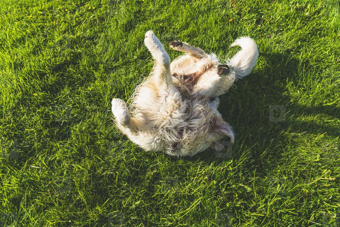 Dog rolling on green grass