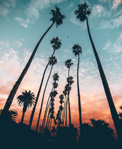 Row of tall palm tree at sunset
