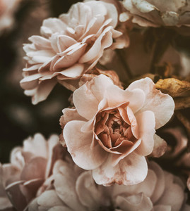 pink roses with vintage effect