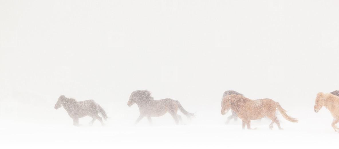Icelandic horse during winter