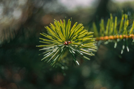 pine needles on zenith