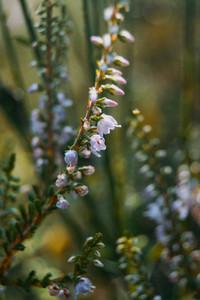 pink flowers of calluna vulgaris outdoors