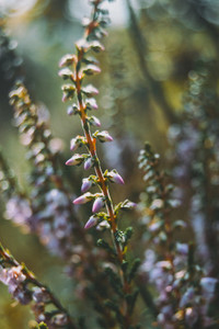 pink flowers of calluna vulgaris outdoors