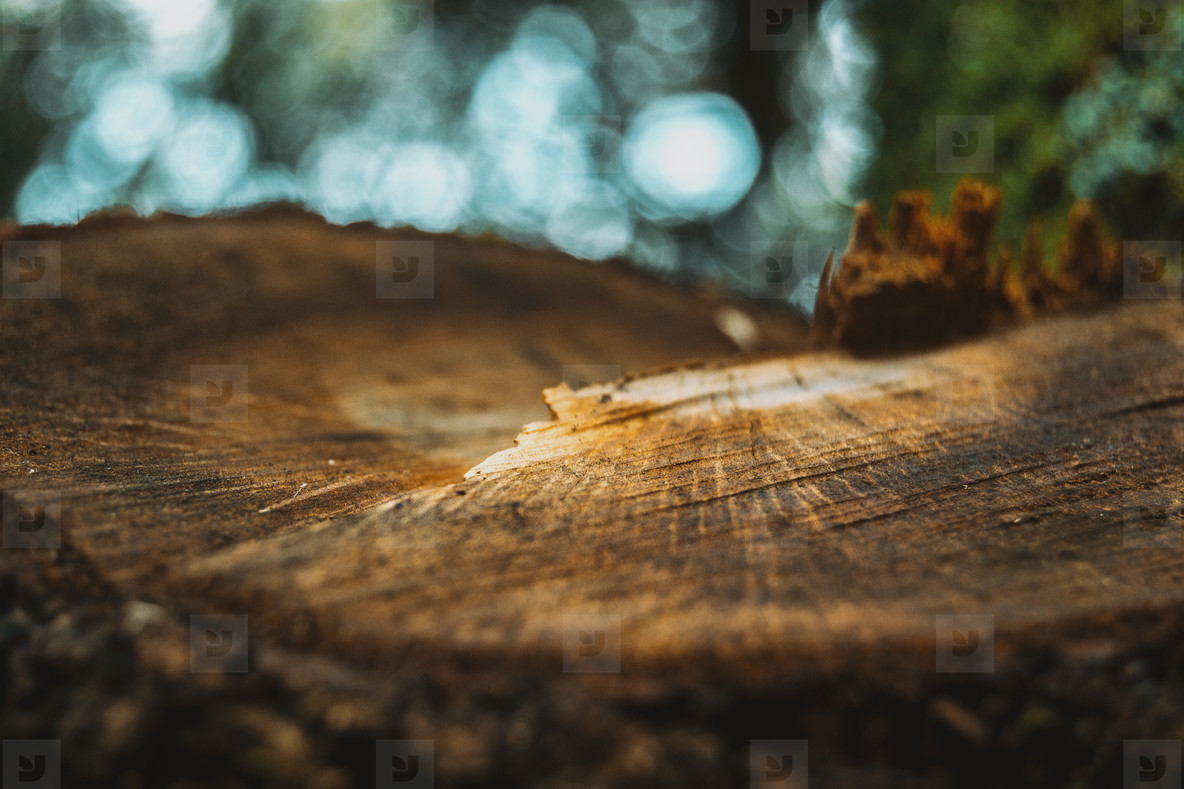 growth ring in the wood of the trunk of a tree
