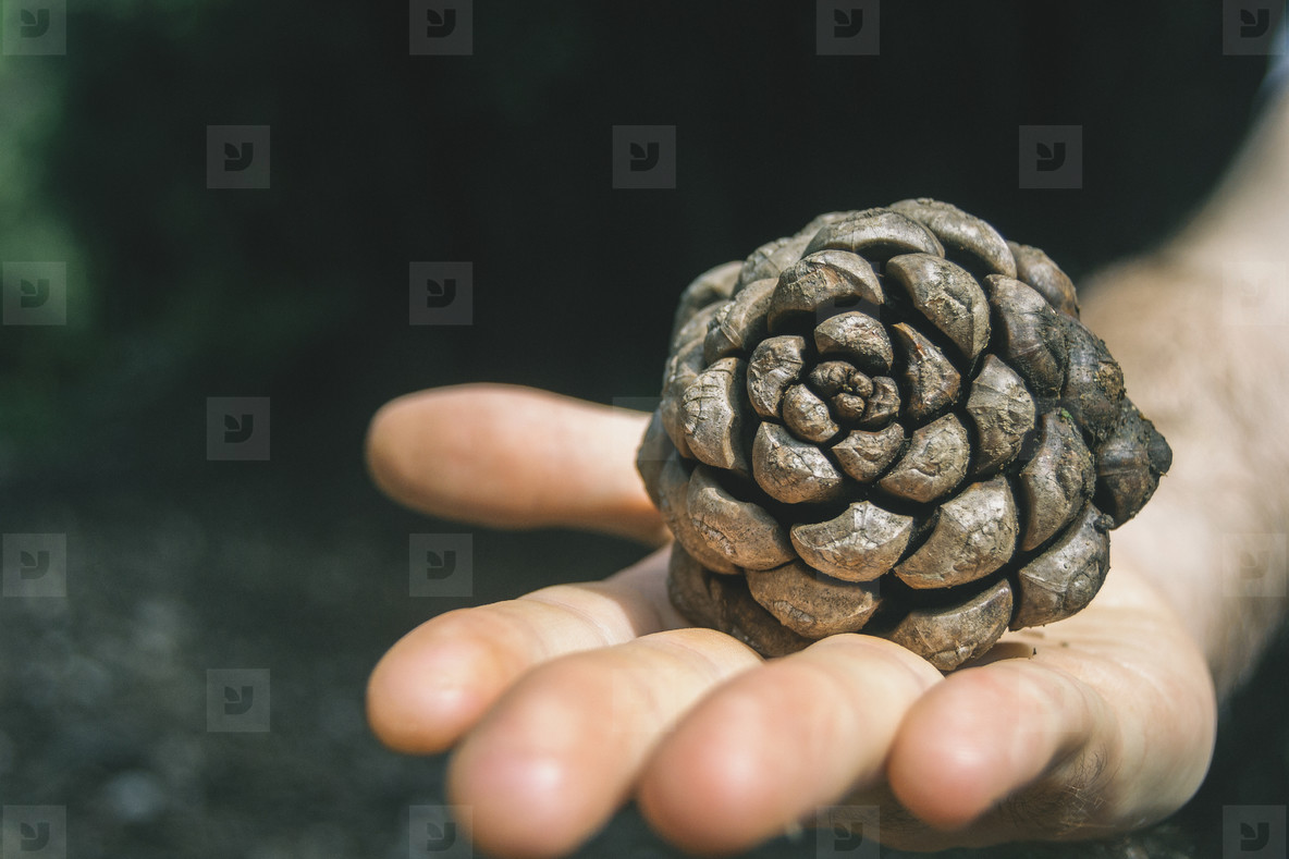 hand holding a pine cone