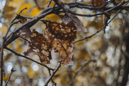 brown leaf in the process of decomposition still attached to the