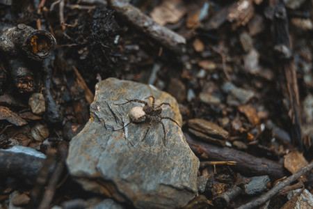 brown spider with egg sack on the ground of a forest  on top of
