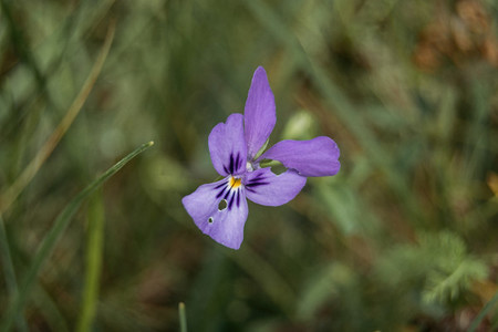 lilac flower of iris germanica in a field