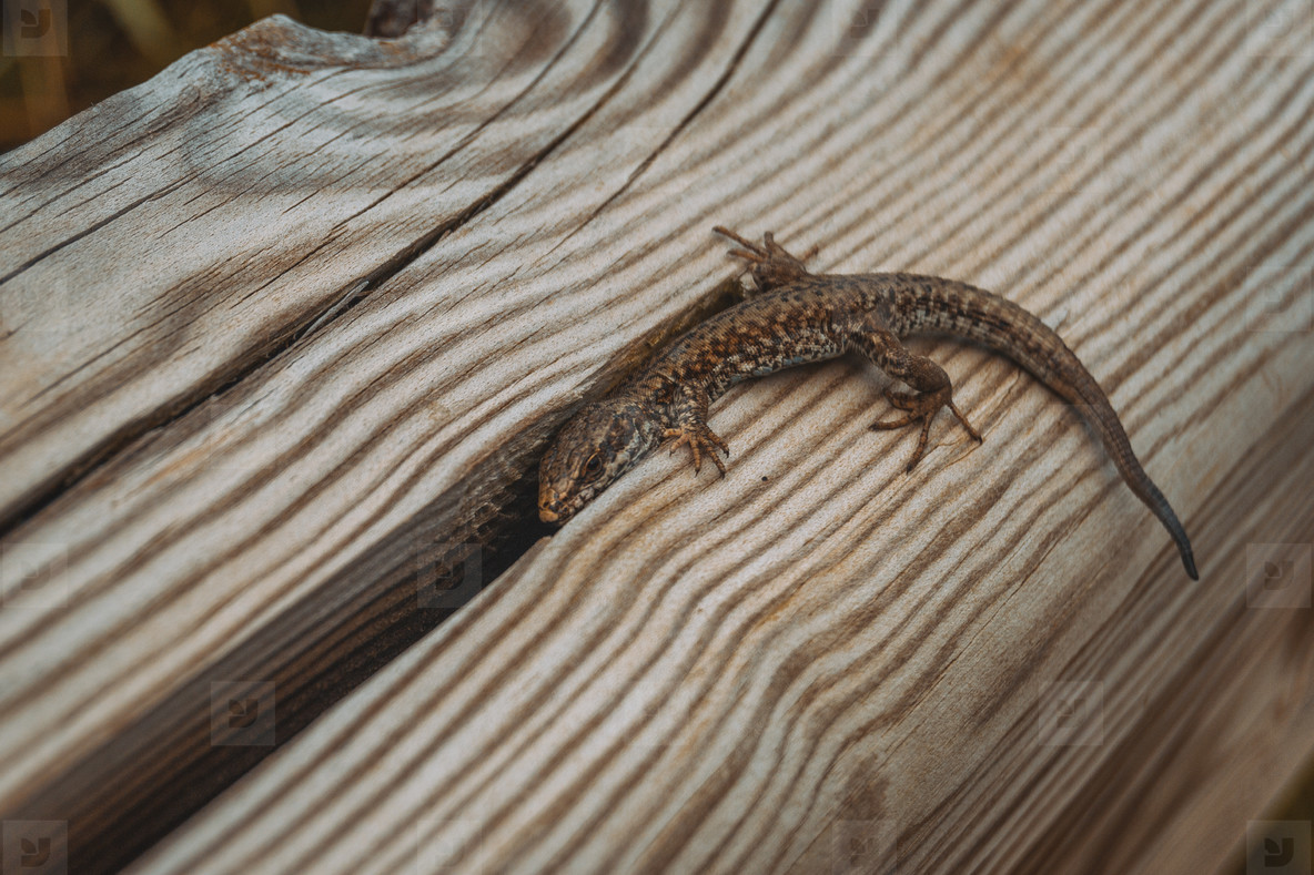 brown lizard in the field on top of a wooden trunk looking at ca