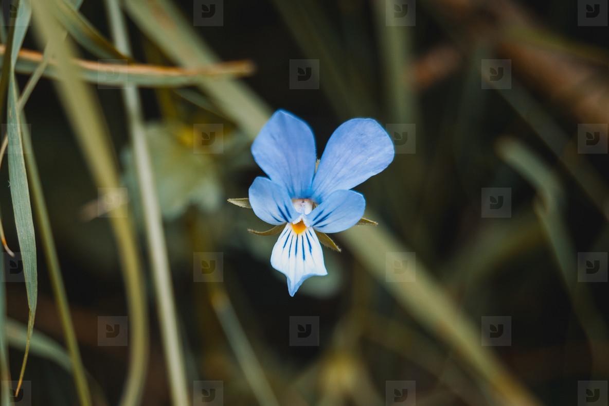 blue flower of iris germanica in a field