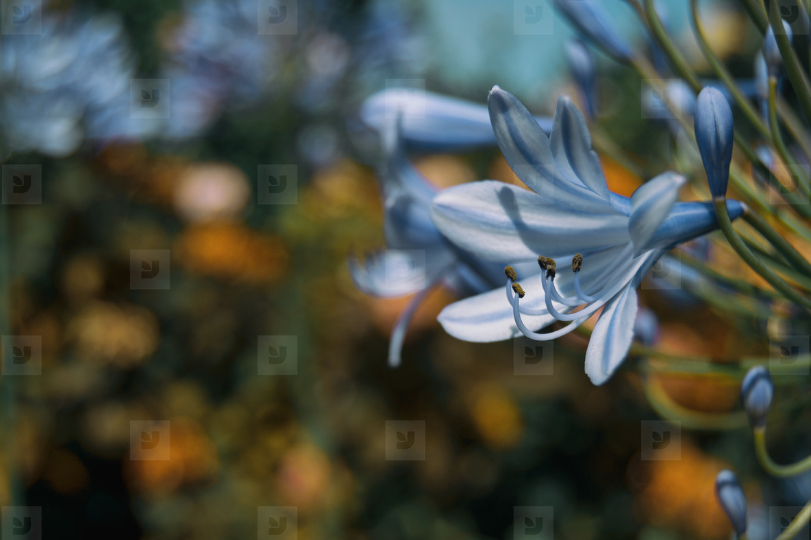 macro of blue flower of agapanthus africanus
