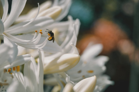 bee on the stamens of a white flower