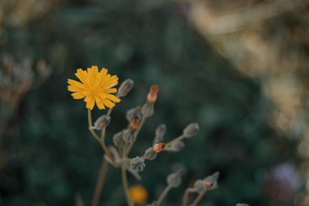 yellow flower of lactuta virosa