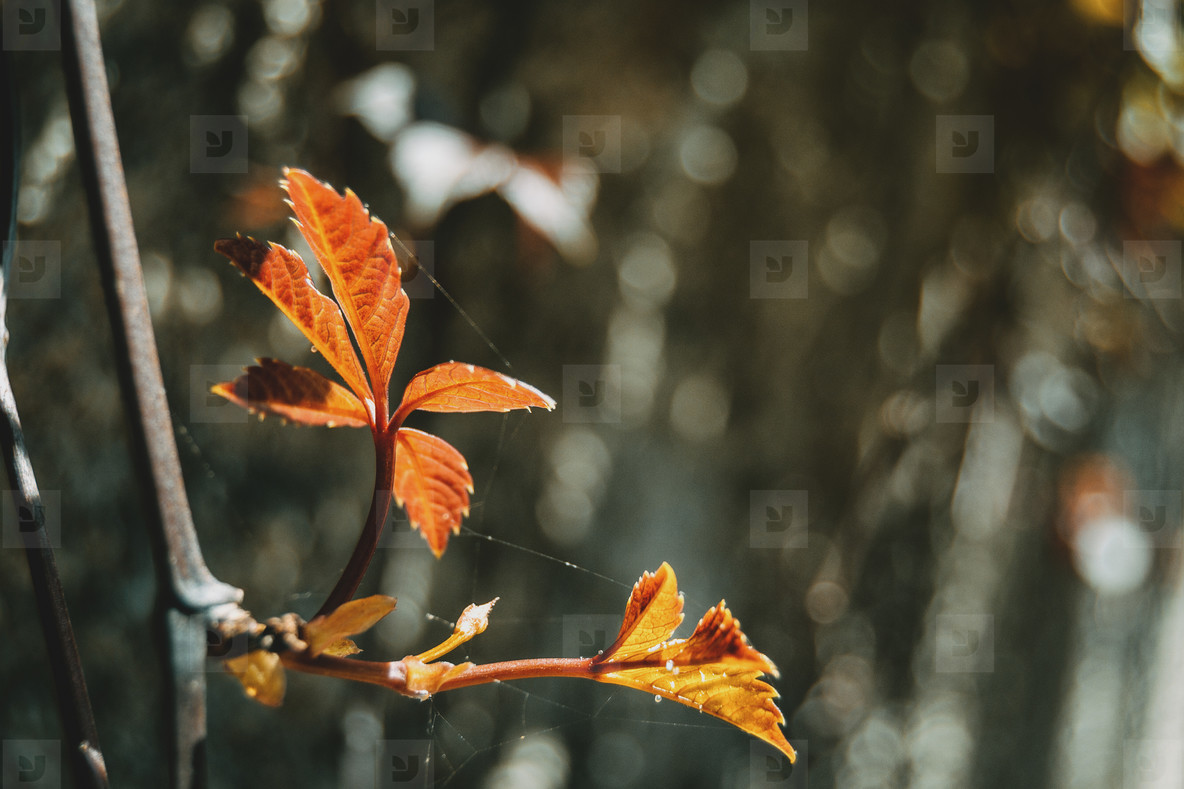 red leaf of parthenocissus quinquefolia