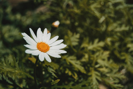 White daisy flower