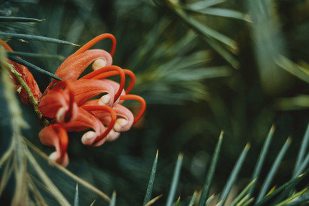 Red grevillea flowers with green leaves