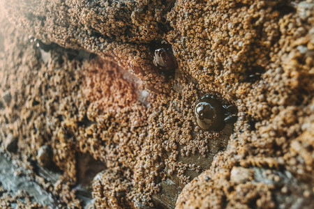 Barnacles on the stones of the beach of Las Catedrales Spain