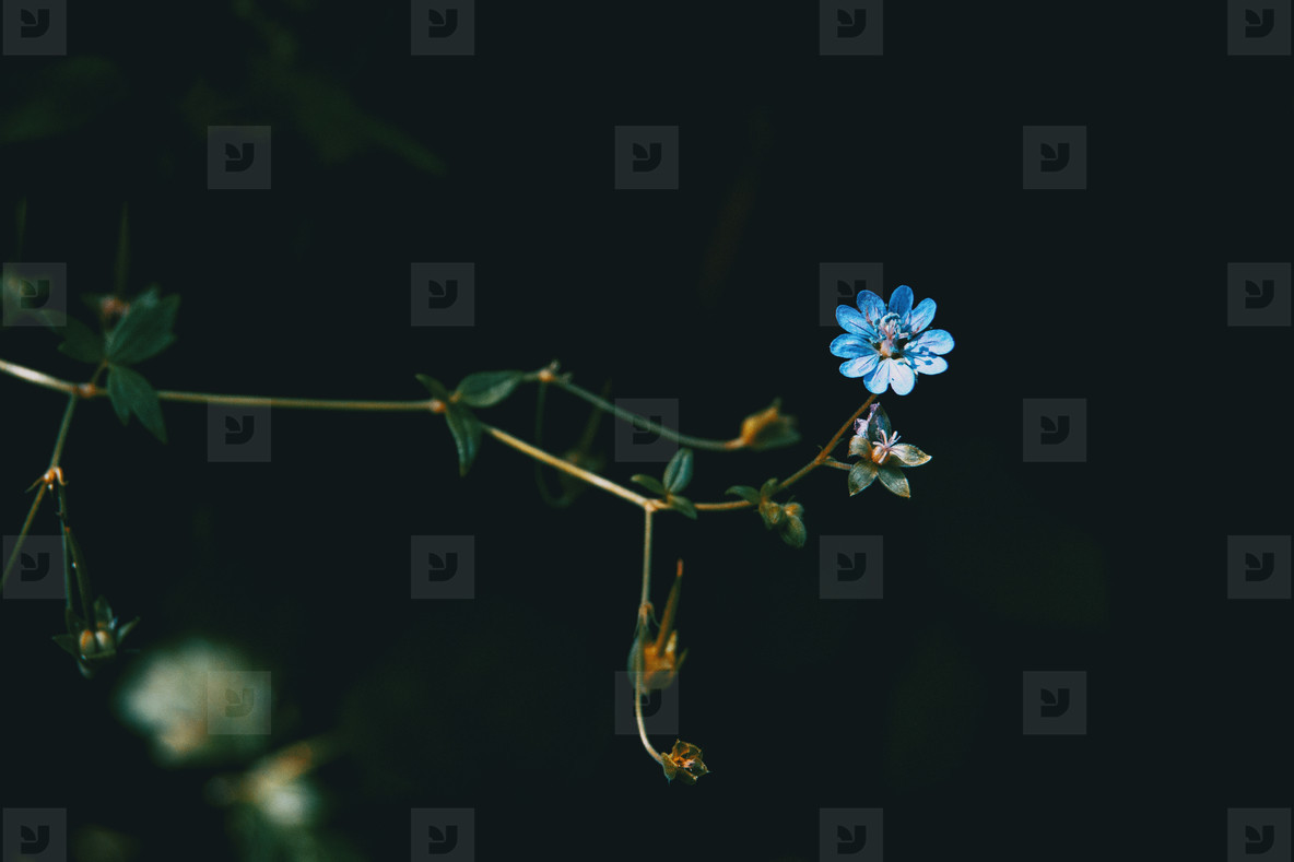 small blue geranium flower on black background