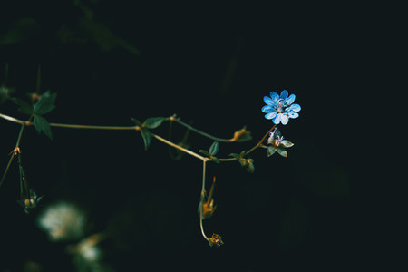 small blue geranium flower on black background