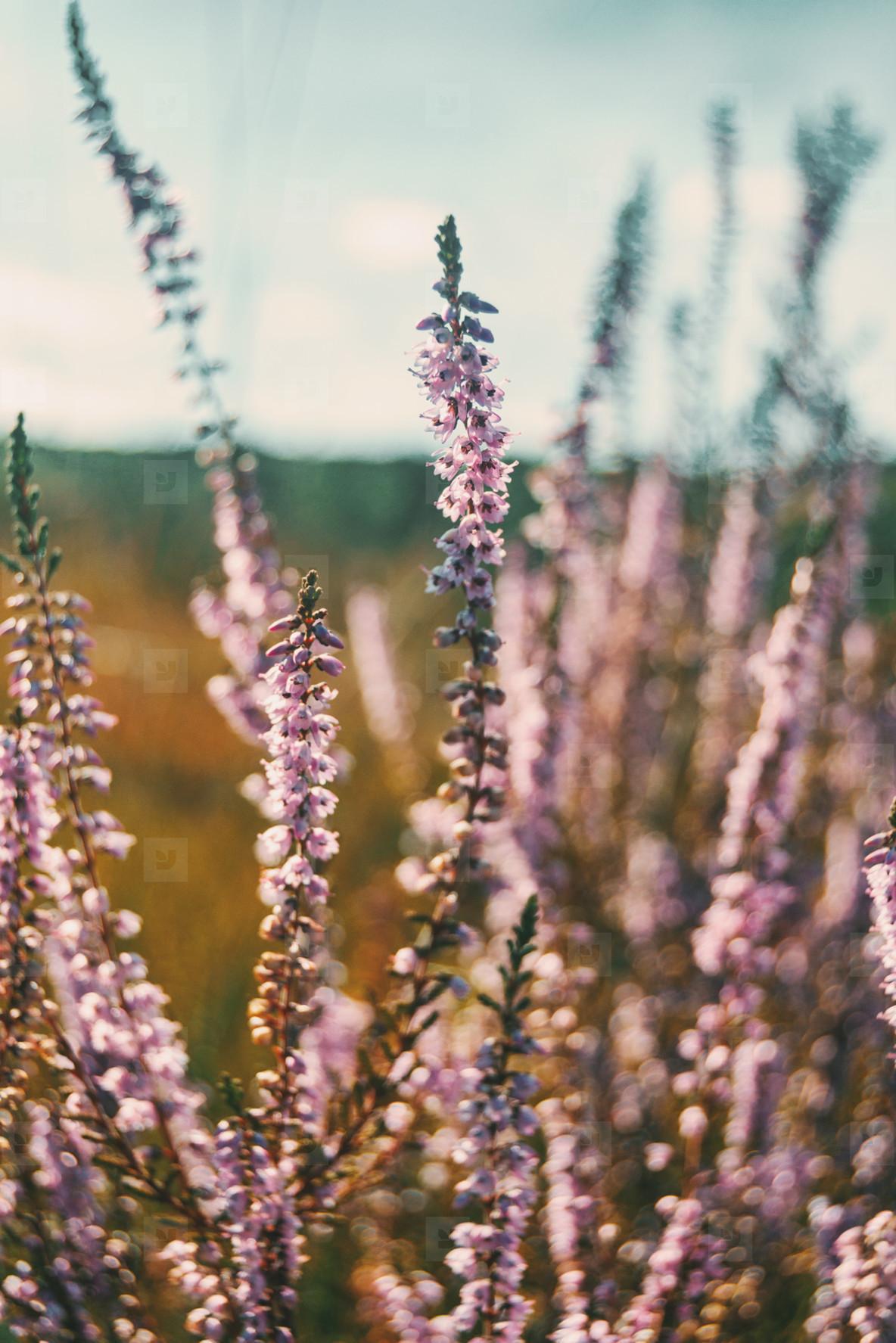 pink flowers of calluna vulgaris in a field