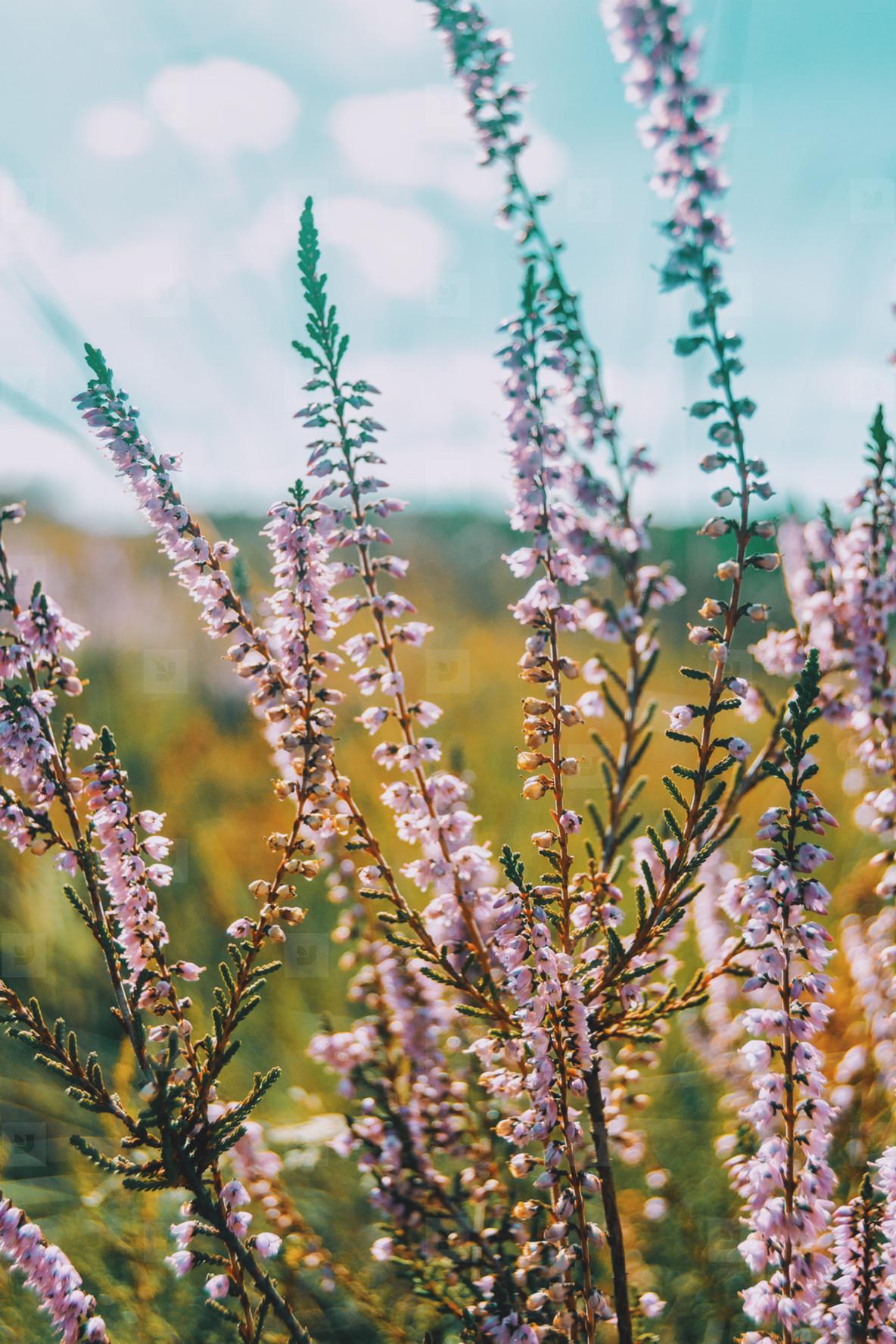 Lieblings Photos - pink flowers of calluna vulgaris in a field - YouWorkForThem &QZ_49