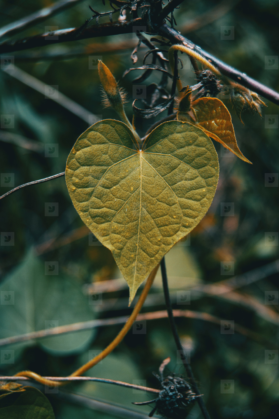 philodendrum leaf with heart shape