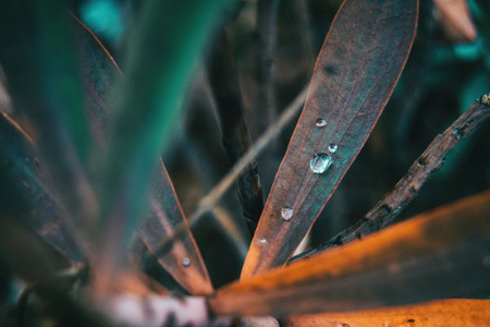 drop of water on a leaf of euphorbia