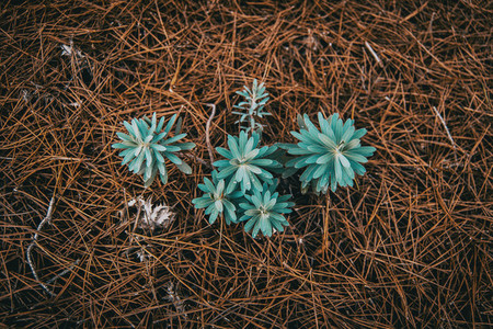 euphorbia seen from above on ground of dried pine leaves