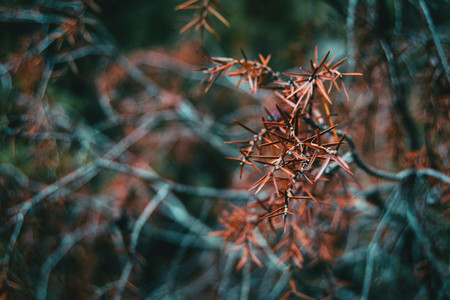 ulex europaeus leaves dried