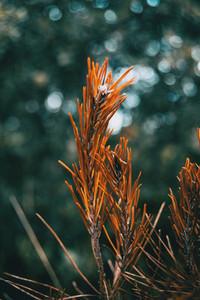 orange pine needles dry