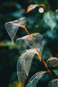 Delicate leaf skeleton macro close up