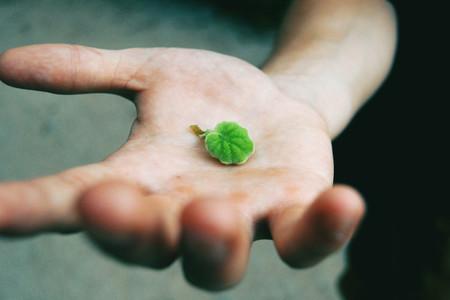 green senecio leaf in persons hand macro closeup