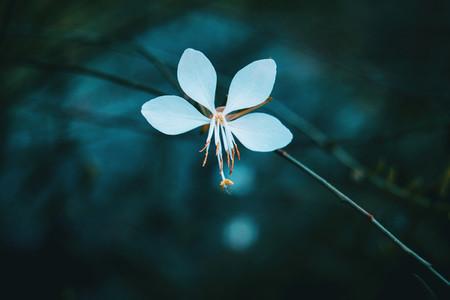 macro of white flower of gaura