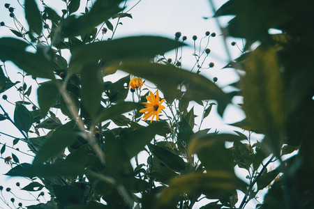 yellow flower of helianthus