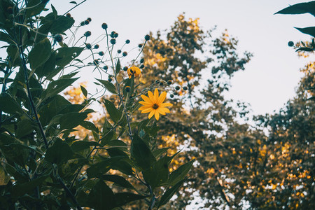 yellow flower of helianthus