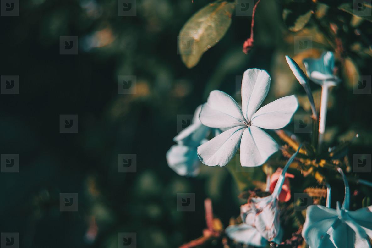 close up blue flowers of plumbago auriculata