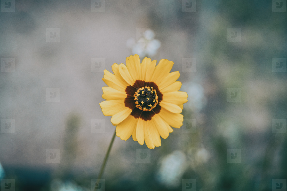 macro of a yellow and brown flower isolated from coreopsis grand