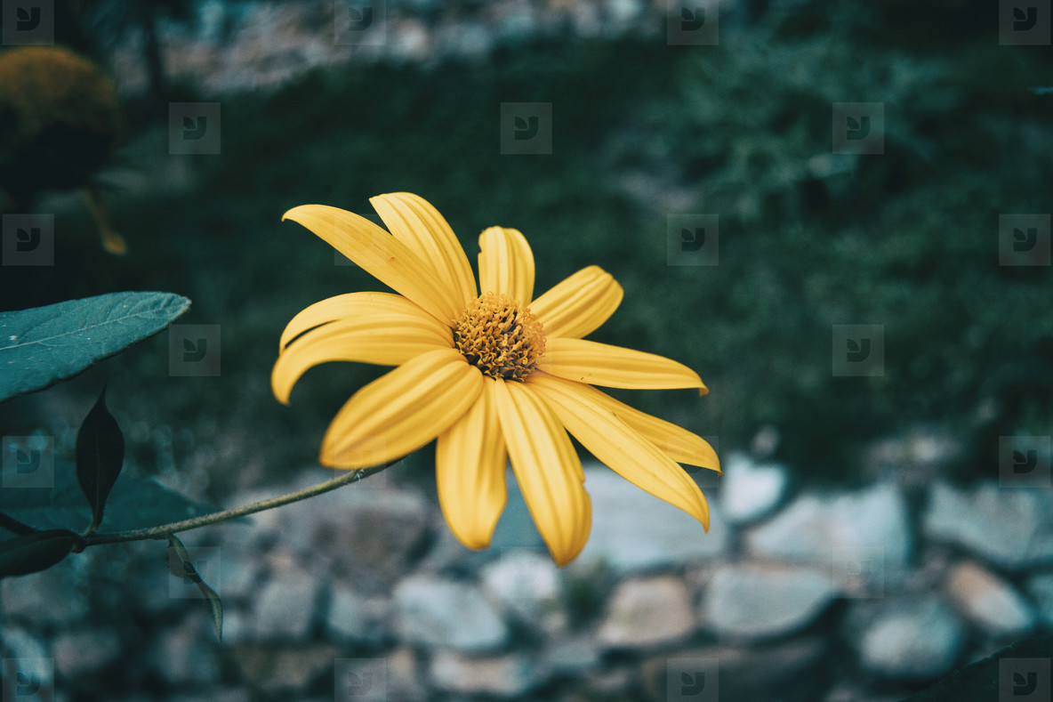 macro of an isolated yellow flower of helianthus tuberosus