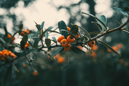 orange fruits of pyracantha coccinea