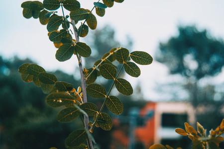 leaves of robinia pseudoacacia in nature