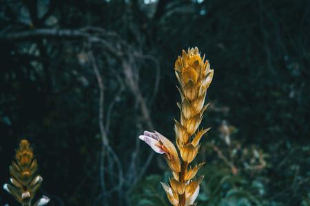 acanthus mollis flower in nature