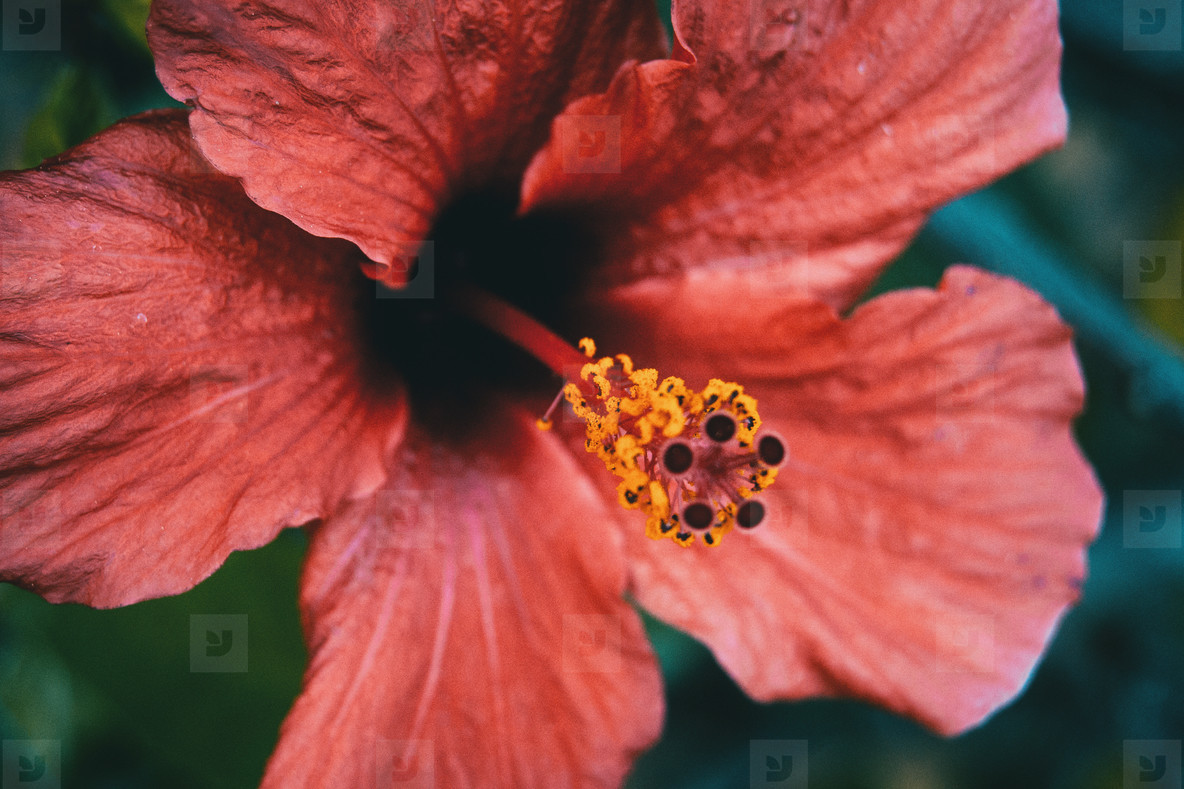 big and red hibiscus flower