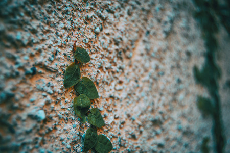 Ficus pumila leaves on a stone wall